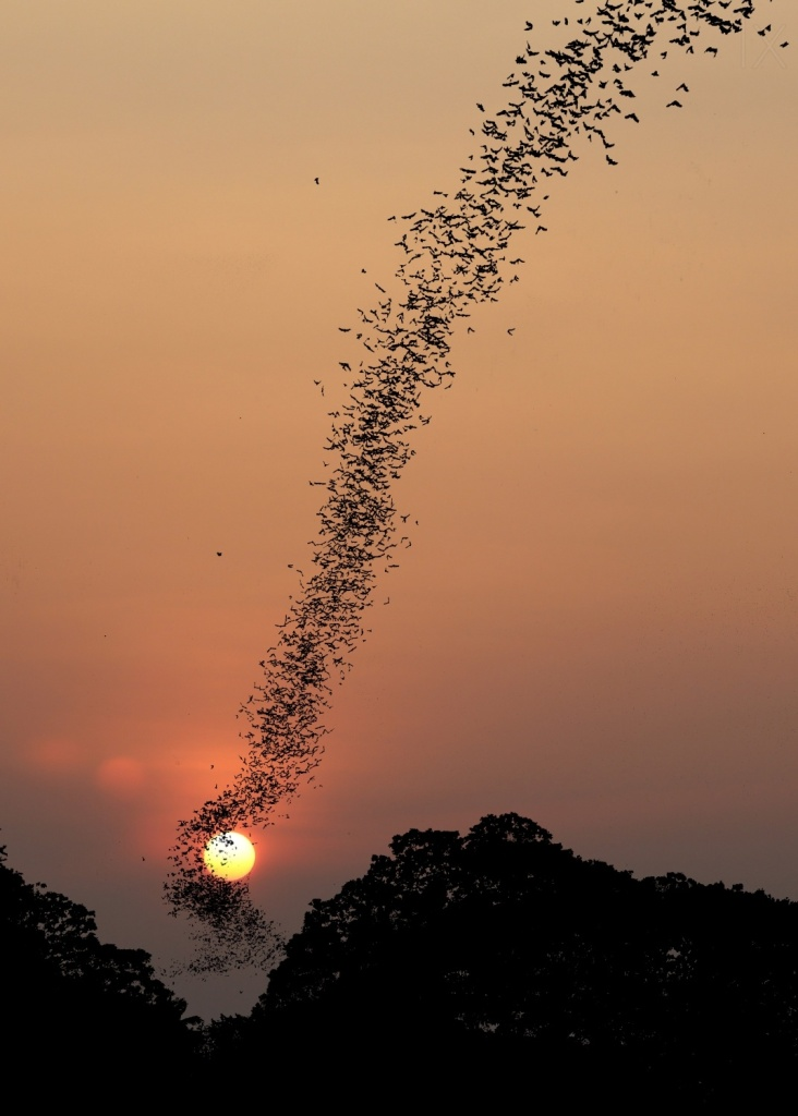 A massive bat colony in flight at sunset